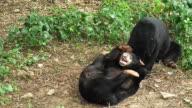 Black Bear cubs play rough.