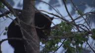 A black bear in a tree eats leaves.