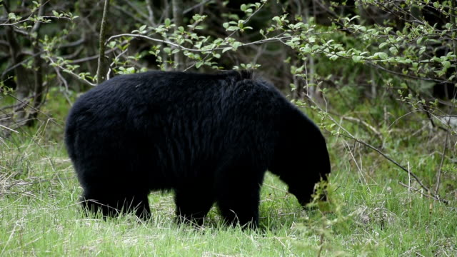 Zwarte beer in het wild
