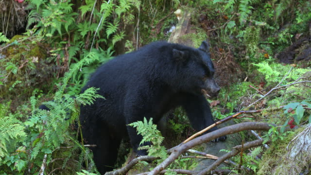 Black Bear mother and two cubs eating berries (Ursus americanus)