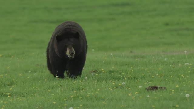 Black bear running and walking in field