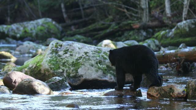 Black Bear (Ursus americanus) walking across a river