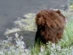 Black Bear walking by river