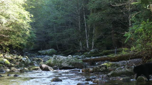 Black Bear (Ursus americanus) walks into shot and down river
