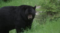 Black bear with insects eating in field