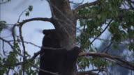 Black bears climb a tree trunk.