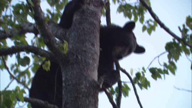 Black bears climb down a tree.