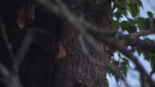 Black bears climb down from a tree.