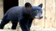 Black Bears threatened by bear skin hunting CANADA Ontario Nr Rousseau Aspen Valley Sanctuary EXT Black bear cubs in strawcovered enclosure
