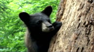 Black Bears threatened by bear skin hunting Ontario Nr Rousseau Aspen Valley Sanctuary Tony Grant interview SOT They've lost their mum their going to...
