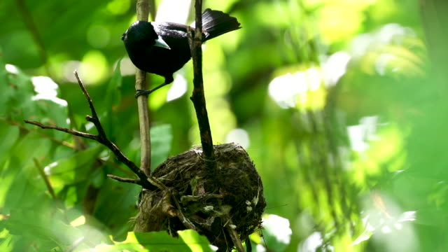 Black bird arrives at nest from top of frame, settles into nest, real time