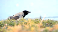 Black bird  in the nature - Stock Video