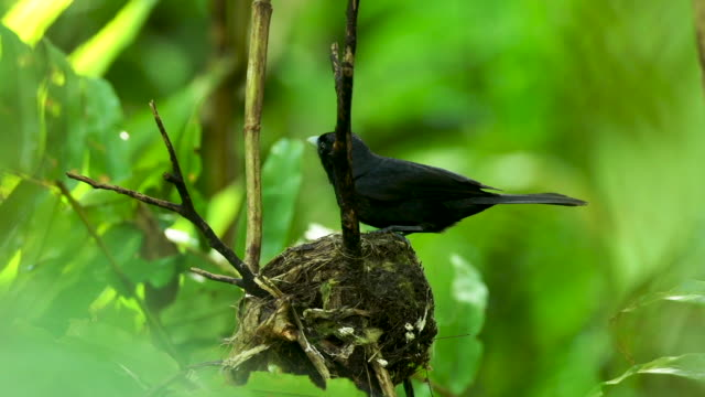 Black bird lands on nest, enters frame left, real time