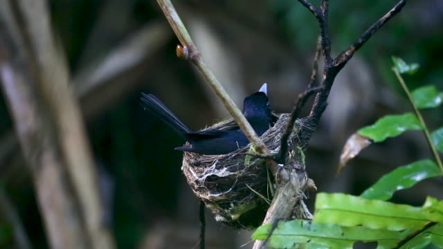 Black bird leaves nest, real time