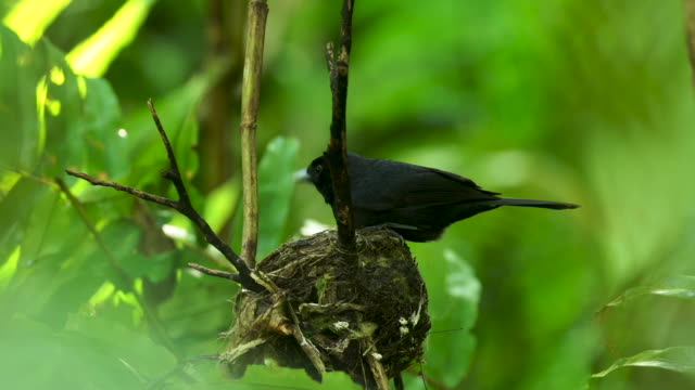 Black bird settles into nest, rainforest background