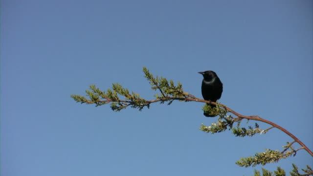 Uccello nero attesa