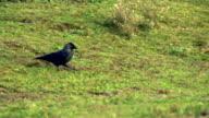 Black bird walking