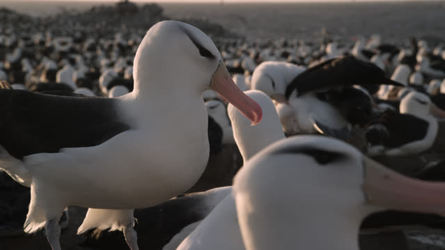 Black browed albatross (Thalassarche melanophris) courtship in nesting colony, Falkland Islands