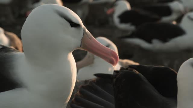 Black browed albatross (Thalassarche melanophris) in nesting colony, Falkland Islands