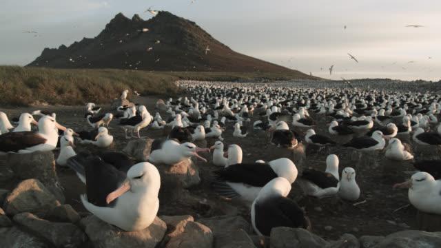 Black browed albatross (Thalassarche melanophris) nesting colony, Falkland Islands