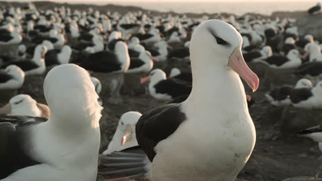 Black browed albatross (Thalassarche melanophris) pair preen in nesting colony, Falkland Islands