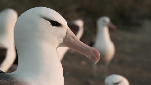 Black browed albatross (Thalassarche melanophris) preens in nesting colony, Falkland Islands