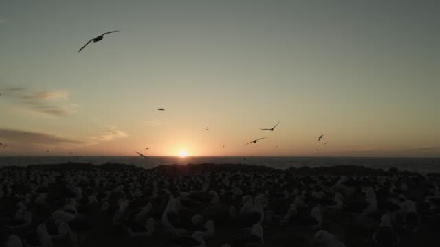Black browed albatross (Thalassarche melanophris) soar over nesting colony at sunset, Falkland Islands