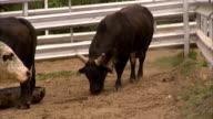 Black bull digging dirt w/ front legs hoof in pen BRIEF feeding from feeding bunk barrel other partial bulls frame Cattle livestock farm bullpen