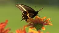 Nero farfalla su un fiore Appollaiarsi