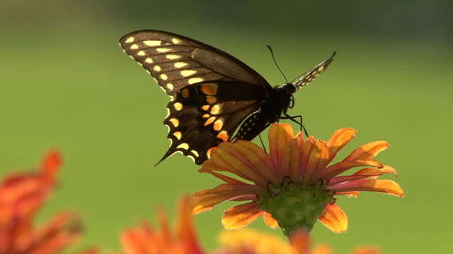 Black butterfly perching on a flower