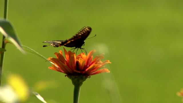 Black butterfly perching on an orange flower