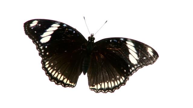 Schwarze Schmetterling.
