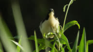 Black capped donacobius (Donacobius atricapilla) ruffles feathers whilst perched on top of plant.