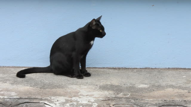 Black cat are hungry.