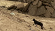 A black cat climbs up an desert slope.