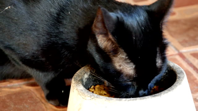 black cat eating food