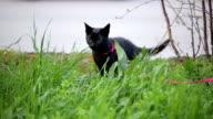 black cat in green grass