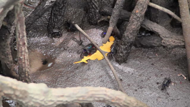 Black crabs in the mangrove forest.