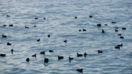 HD: Black ducks on sea
