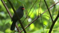 A Black fronted Nunbird perched on a branch + real time takeoff