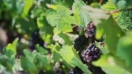 Black Grapes on Vine