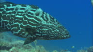 Black grouper, swims past camera, Bahamas