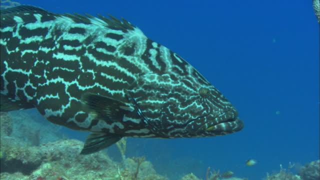 Black grouper, swims past camera, Bahamas