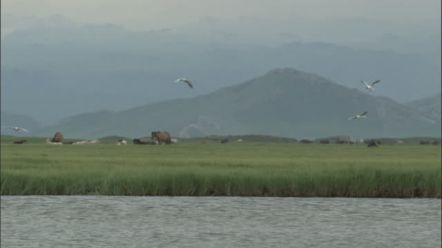 Black headed gulls hover over lake, horses in background, Bayanbulak grasslands.