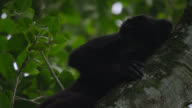 'Black howler monkey (Alouatta pigra) calls in forest, Calakmul, Mexico'