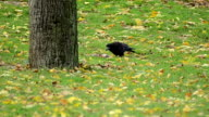 Black jackdaw searching for food