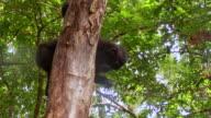 CU Black macaque feeding on side of tree / Sulawesi, Indonesia