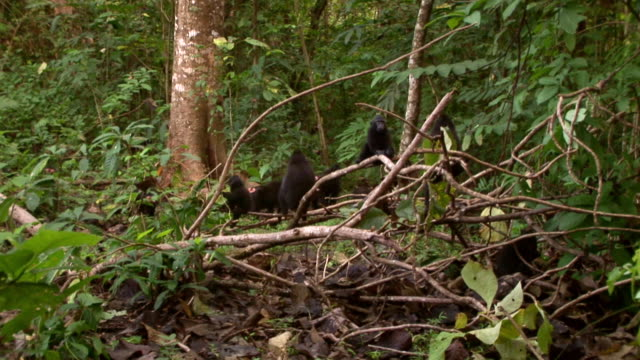 WS Black macaque group feeding on forest floor / Sulawesi, Indonesia