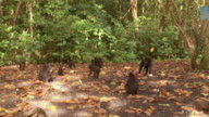 WS Black macaque troop on forest floor feeding / Sulawesi, Indonesia