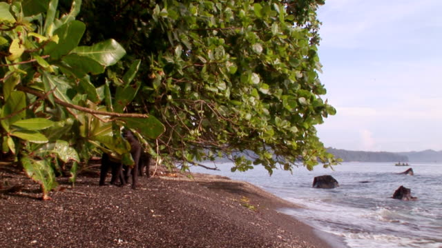 MS Black macaques on beach with some fighting and scaring of waves / Sulawesi, Indonesia